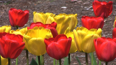 Red and Yellow Tulips Close Up Stock Video Footage