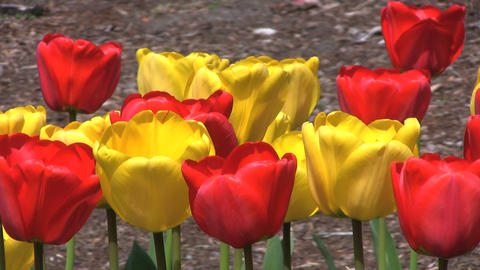 Red and Yellow Tulips Close Up Footage