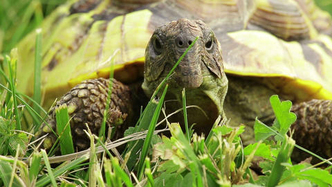 Old Turtle On The Grass stock footage