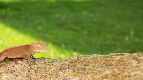 Lizard gecko Stock Video Footage