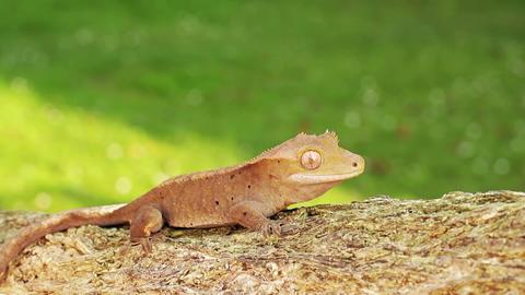 Lizard gecko Footage
