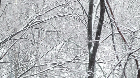 Snowfall and the trees. Wide shot Footage