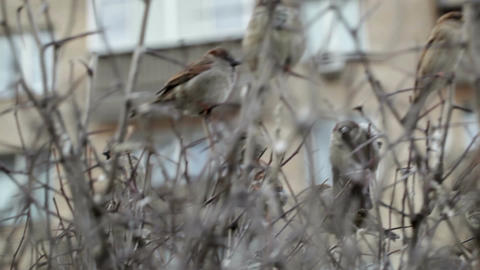 Flock Of Sparrows Sitting On Bare Bush stock footage
