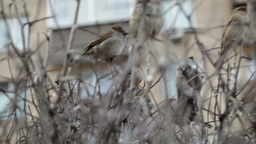 Flock of sparrows sitting on bare bush Live Action