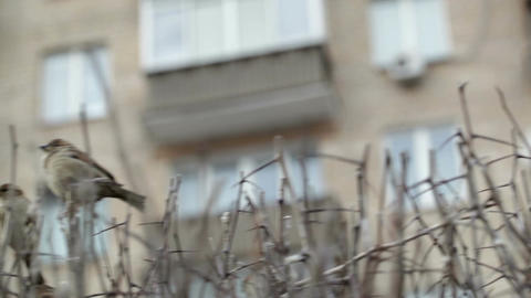 Flock of sparrows sitting on bare bush Stock Video Footage