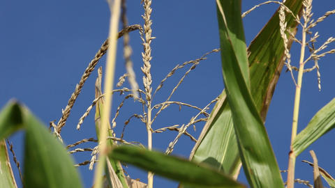 Maize plants against a blue sky Stock Video Footage
