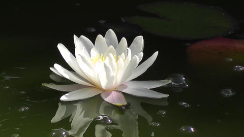 Water lily reflected in the surface of the lake Stock Video Footage