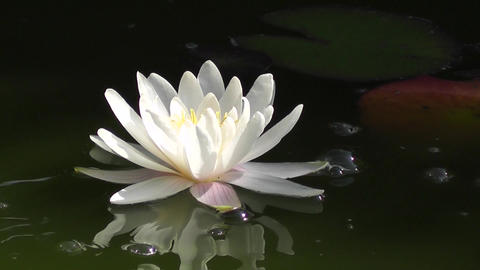 Water Lily Reflected In The Surface Of The Lake stock footage