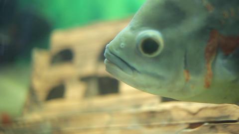Fish in aquarium Footage