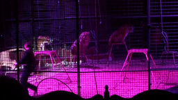 Circus Liones Stock Video Footage