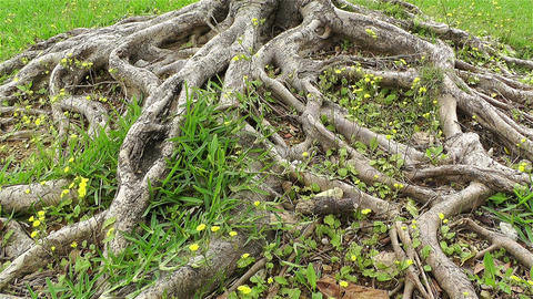 Old Tree Roots and Flowers at Spring 2 Stock Video Footage