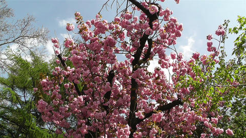 Springtime Blossoming Tree 1 Footage