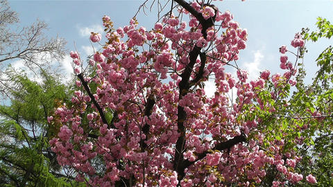 Springtime Blossoming Tree 1 Stock Video Footage