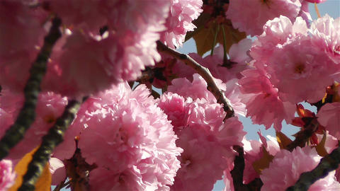 Springtime Blossoming Tree 3 Stock Video Footage