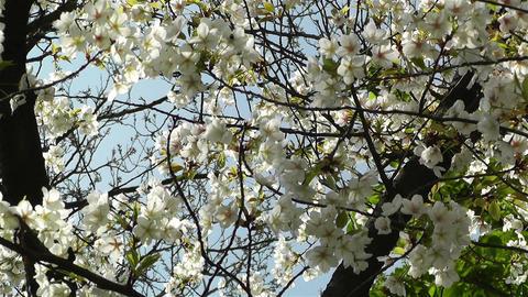 Springtime Blossoming Tree 5 Stock Video Footage