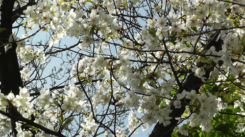 Springtime Blossoming Tree 5 Footage