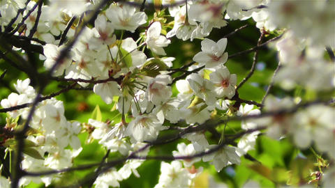 Springtime Blossoming Tree 7 Stock Video Footage