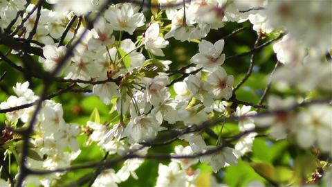 Springtime Blossoming Tree 7 Stock Video Footage