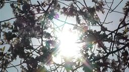 Springtime Blossoming Tree 9 Stock Video Footage