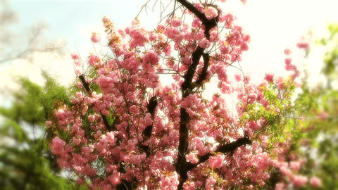 Springtime Blossoming Tree 11 stylized Footage