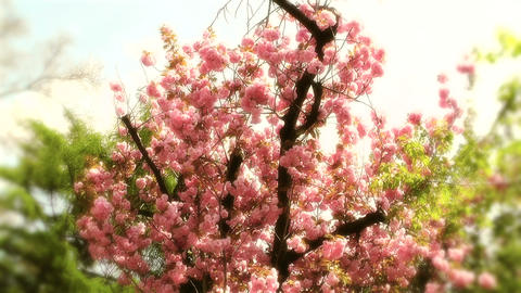 Springtime Blossoming Tree 11 stylized Stock Video Footage