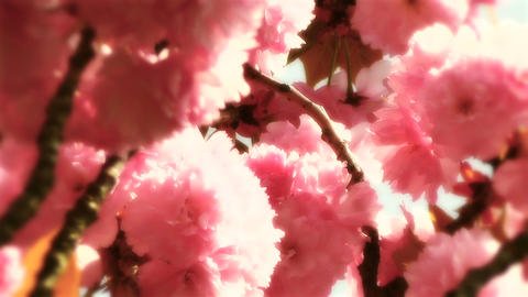 Springtime Blossoming Tree 13 stylized Stock Video Footage