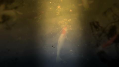 carp Japan 01 A Footage