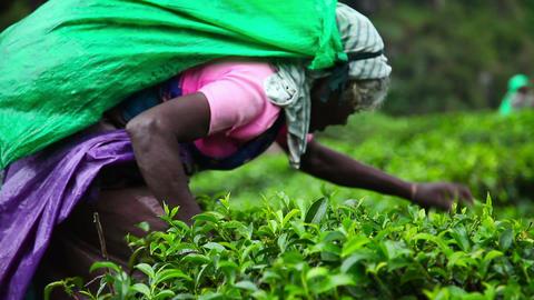 Women gather tea Stock Video Footage