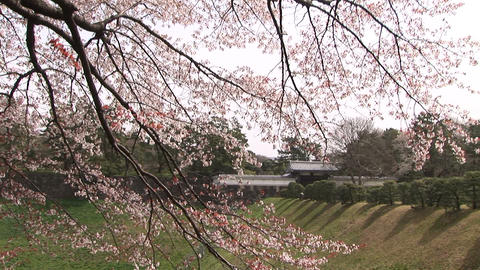 Cherry blossom in Japan Footage