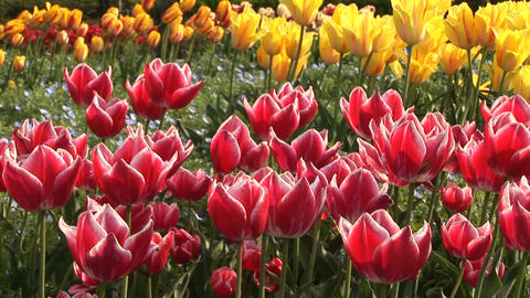 Tulip Stock Video Footage