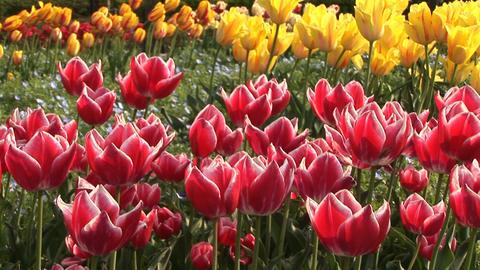 Tulip Stock Video Footage