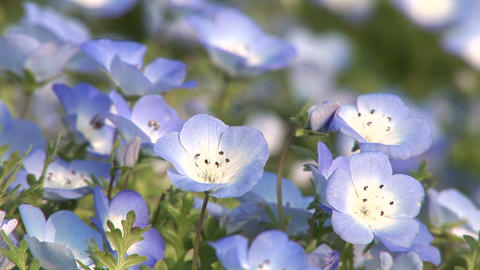 Nemophila Stock Video Footage