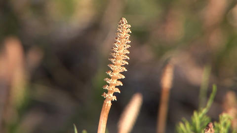 Horsetail Stock Video Footage
