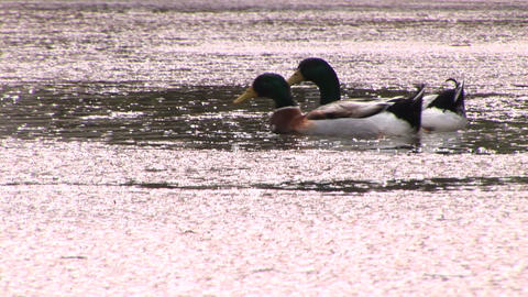 Swimming ducks Stock Video Footage