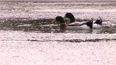 Swimming ducks Footage
