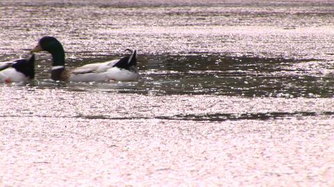 Swimming ducks Stock Video Footage