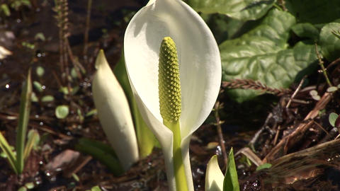 Asian skunk cabbage Stock Video Footage