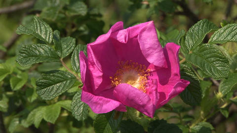 Rugosa rose Stock Video Footage