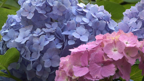Hydrangea Stock Video Footage