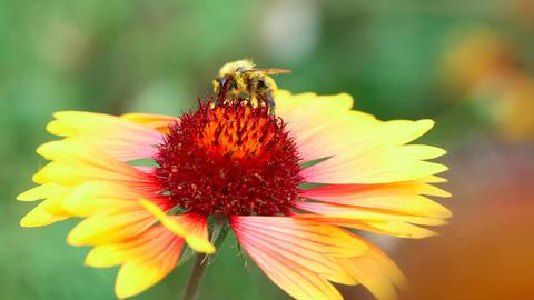 Bumblebee Stock Video Footage