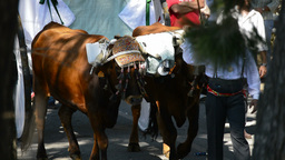 Spanish bulls and trailers on pilgrimage or romeria andalusian Footage