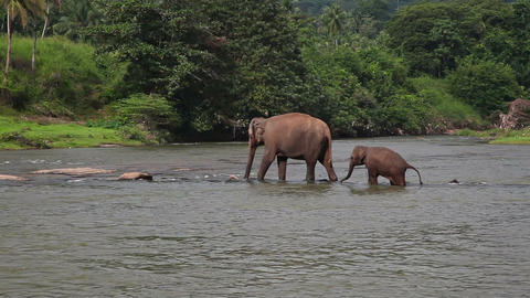 Elephants cross the river Footage