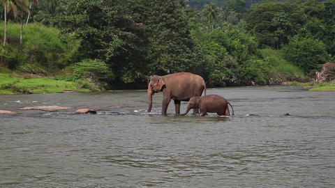 Elephants cross the river Stock Video Footage