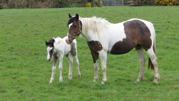 Piebald horses Stock Video Footage