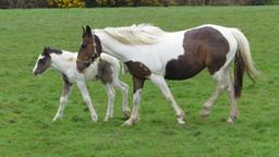 Piebald horses Stock Video Footage