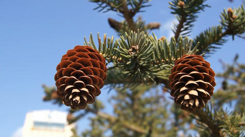 Two fir-cones close up Stock Video Footage