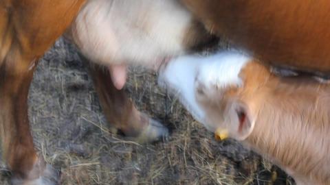 Calf sucks a cow 4268 Footage
