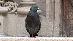 pigeon Stock Video Footage