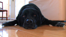 A lazy dog lays on the floor Stock Video Footage