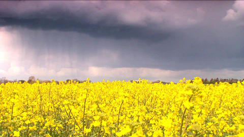 Biofuel crop with storm clouds Stock Video Footage